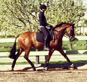 Havanna - Small Hack ready for Melbourne Royal Show.