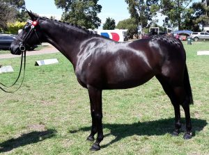 Small Small Galloway Mare - Gracious Gift