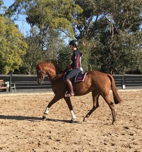 Royalwood Boy Soprano Gelding