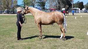 Registered Stock Horse Palamino Mare