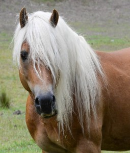 Fernances Creek Haflinger Stallions at Stud.