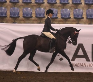 Karate Kid - 14hh Champion Stallion