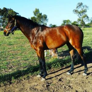 Cheraton Be Delicious - Riding Pony Filly