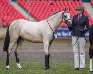 Thorwood My Valentine - Mature Large Pony