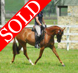 SOLD!!! LM Glamour Girl - Small Galloway