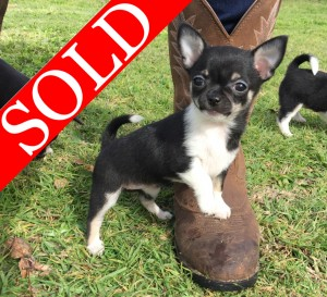 ALL SOLD!! - Purebred Chihuahua Puppies