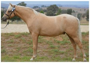 Eastview Rhumba - Australian Pony
