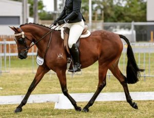 Large Galloway Mare - Dressage/Showing