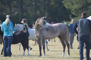 Purebred Grey Arabian gelding