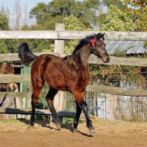 Merivale Park Miss Divine - Youngstock Filly
