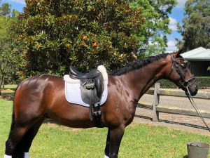 Dressage/ Allrounder Warmblood - Small Hack
