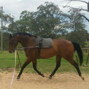 Large Hack - Perfect SJ/Eventer for a beginner.