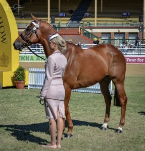 Quality Off the Track Gelding - 16hh