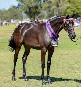 Quality Yearling Show Filly