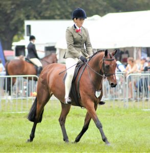 SOLD!! - Show Hunter Galloway (NZ)