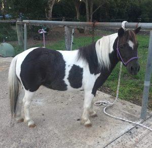 American Miniature Horse - Pinto Mare