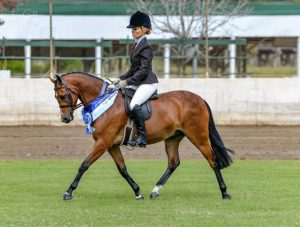 Beckworth Rising Son - Medium Hunter Pony