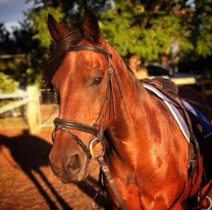 Allrounder Galloway - Friesian x Riding Pony