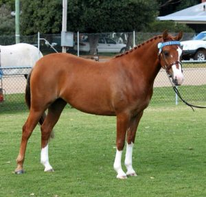 Aristocrat Sarina - Large Pony Mare