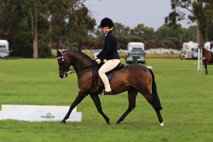 Open Large Show Pony Gelding.