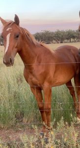 Willowcroft Manhatten - 2yo Gelding.