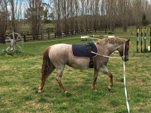 Luadra Celebrity - Large Hunter Pony