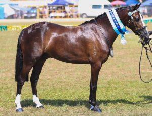 Multi-Supreme Winning Hunter Pony