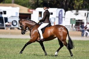 Silkwood Cellini - Large Show Hunter Pony