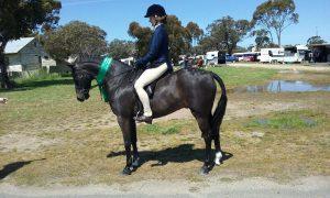 Show Hunter Pony Gelding.