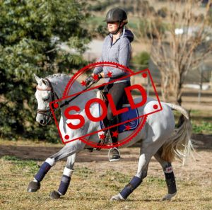 SOLD!! - Welsh B Gelding.