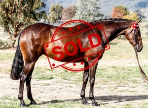 SOLD!! - Open Small Galloway