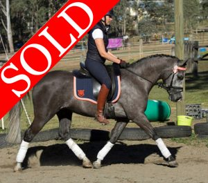 SOLD!!  Stunning Show Hunter