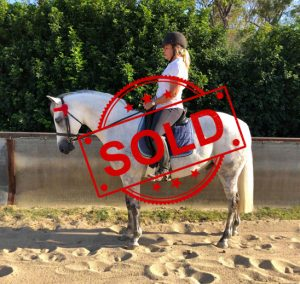 SOLD!! - Large Show Hunter Galloway