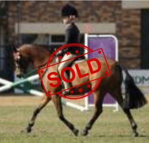 SOLD!! - Ultimate Child's Show Pony