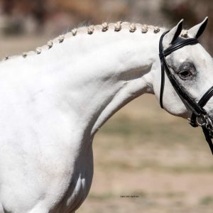 Weston Park Carlo - Large Hunter Pony