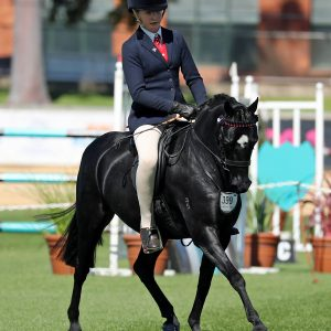 Wynvale Park Sir Quin - Quality Child's Pony