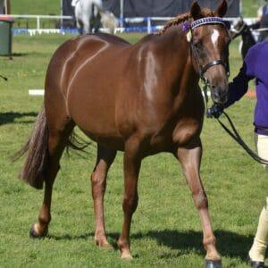 Cambridge Park Picture Perfect - Large Pony
