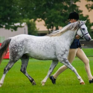 Welsh B Mare - Woodville Park Tradition