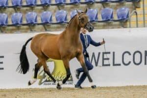 Proven Show Schoolmaster - Part Bred Arabian