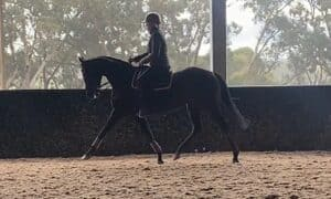 Newcomer Large Galloway Mare